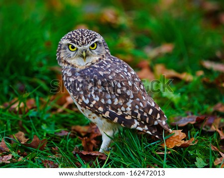Closeup of a Burrowing Owl on the ground - stock photo