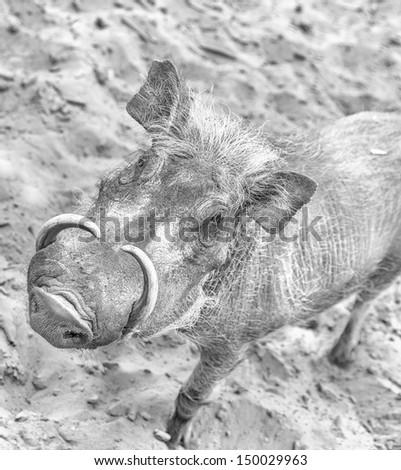 Closeup of a bushpig (black and white) - stock photo