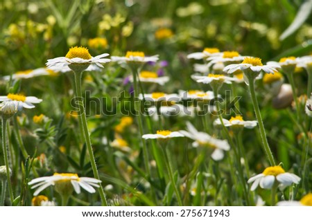 Closeup of a camomile field full of flowers in spring near Mediterranean coast in Grece - stock photo