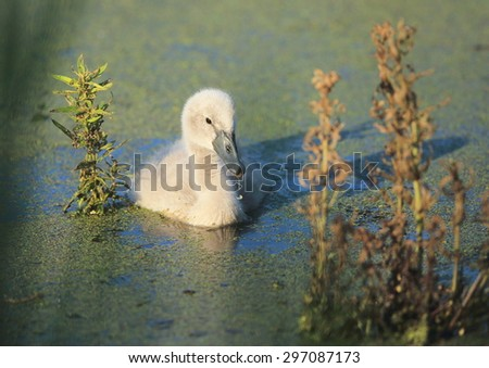 Closeup of a Canada goose gosling (Branta canadensis) swimming in a southern Ontario marsh area.  The grey gosling is contrasted with green water foliage and blue water and is very cute.   - stock photo