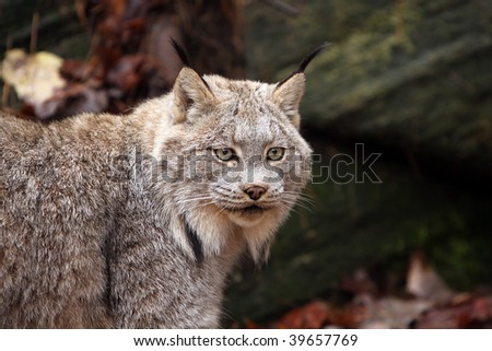 Closeup of a Canada Lynx against a blurred background - stock photo