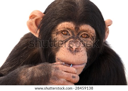 Closeup of a Chimpanzee against a white background. - stock photo