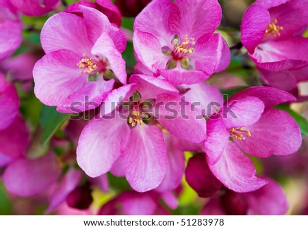 closeup of a cluster of bright pink blossoms on a tree - stock photo
