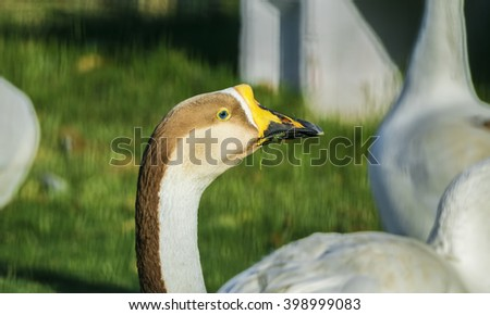 Closeup of a colorful Mute Swan Bird head eating grass and looking away from the camera in a green garden - stock photo