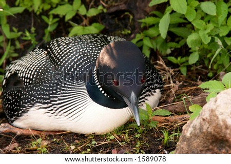 Closeup of a Common Loon on the Nest on a lake in Northern Wisconsin.  The loon has an ant on it's bill. - stock photo