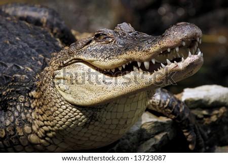 Closeup of a crocodile - stock photo
