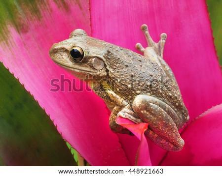 Closeup of a Cuban Treefrog on a Pink Tropical Bromeliad      - stock photo