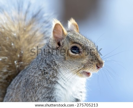 Closeup of a cute gray squirrel in Winter - stock photo