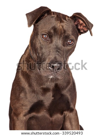 Closeup of a cute one year old dark brown color Labrador Retriever and Pit Bull mixed breed dog - stock photo