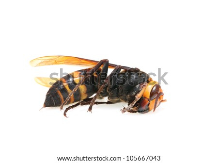Closeup of a dead hornet on white background - stock photo