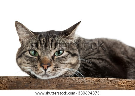 Closeup of a domestic shorthair tabby cat laying down looking at camera isolated on white background - stock photo