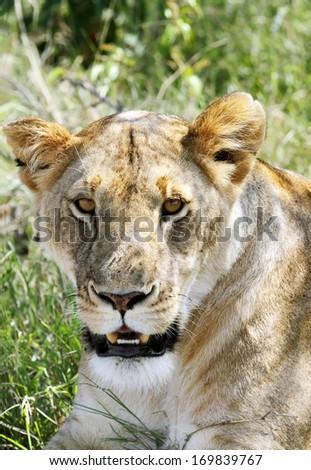 Closeup of a face of lion - stock photo