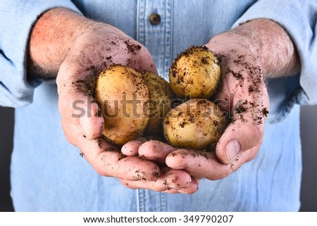 Closeup of a farmers dirty hands holding his fresh harvested locally grown organic potatoes. - stock photo