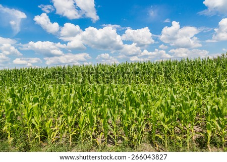 Closeup of a field of corn ready for harvest - stock photo