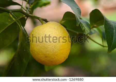 Closeup of a fresh lemon on the tree - stock photo