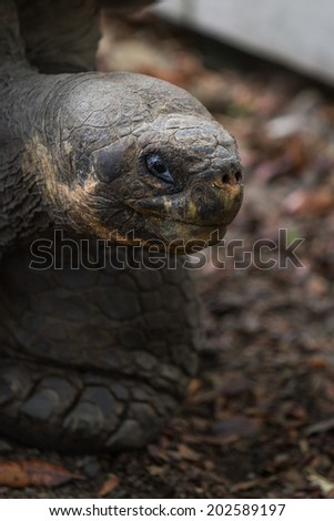 closeup of a giant galapagos tortoise with ancient looking features - stock photo