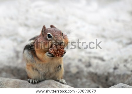 Closeup of a Golden-Mantled Ground Squirrel stuffing his cheeks. - stock photo