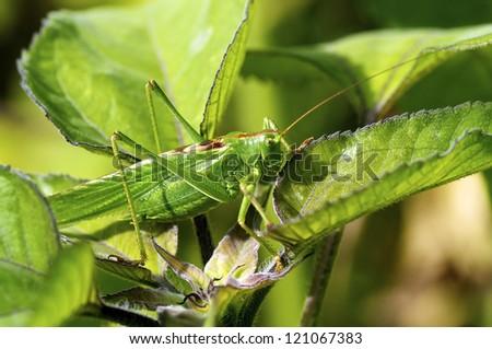 Closeup of a great green Bush Cricket (Tettigonia viridissima) - stock photo
