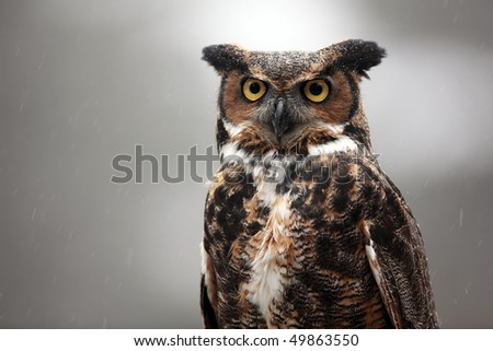 Closeup of a Great Horned Owl. - stock photo