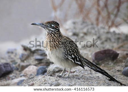 Closeup of a Greater Roadrunner in the Underbrush - stock photo