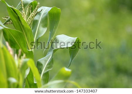 closeup of a green leaf from maize plant in the field - stock photo