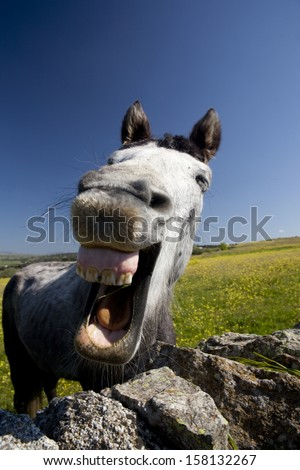 Closeup of a grey horse laughing and showing  his teeth on a yellow field. Laughing horse. - stock photo
