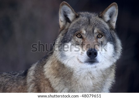Closeup of a Grey wolf (Canis lupus) in her soft, warm fur. - stock photo