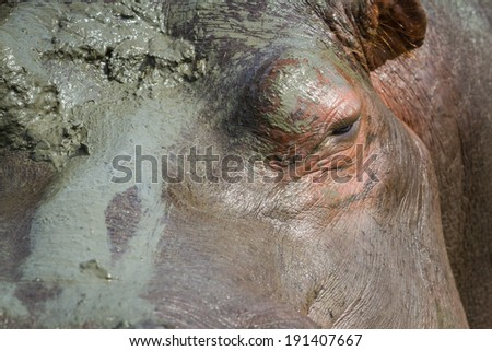 closeup of a hippo's eye and a very muddy face - stock photo