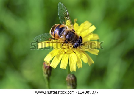 Closeup of a honey bee, seed from above. - stock photo