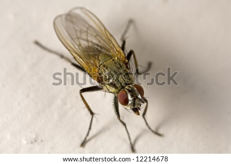 Closeup of a house fly with tongue sticking out - stock photo