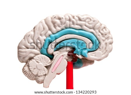 closeup of a human brain model on white background - stock photo