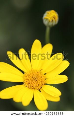 closeup of a little yellow flower and blur dark green background  - stock photo