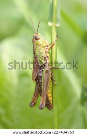 Closeup of a locust on a leaf  - stock photo