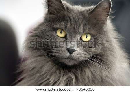 closeup of a long haired cat - stock photo