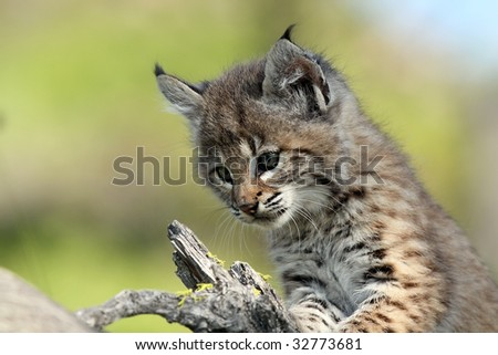 Closeup of a Lynx Kitten against a blurred background. - stock photo