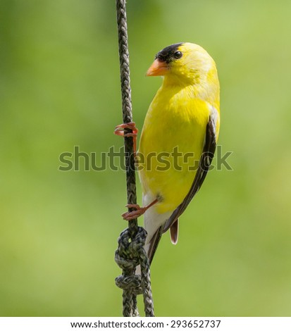 Closeup of a Male American Goldfinch (Carduelis tristis) - stock photo