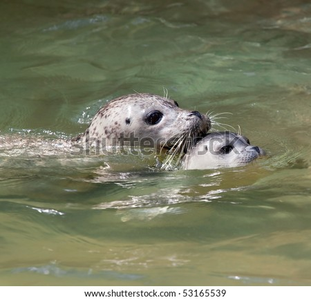 Closeup of a mother and baby seal swimming - stock photo