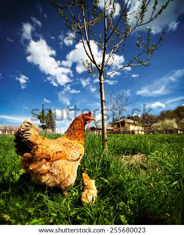 Closeup of a mother chicken with its baby chicks in grass - stock photo