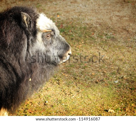 Closeup of a musk ox - stock photo