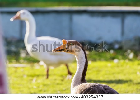 Closeup of a Mute Swan Bird head looking away with colorful out of focus background. Swans are birds of the family Anatidae within the genus Cygnus. - stock photo