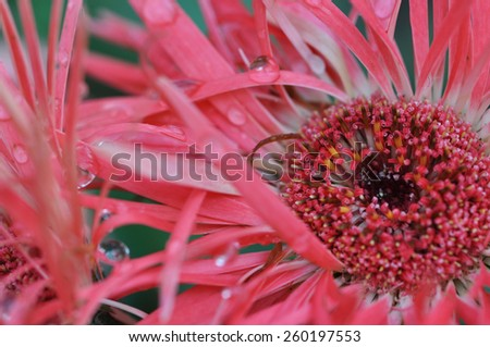Closeup of a pink gerber daisy with water droplets on the spike petals - stock photo
