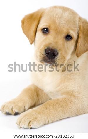 closeup of a  Puppy Labrador retriever - stock photo