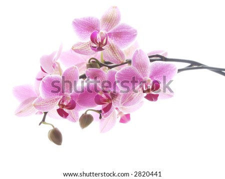 Closeup of a purple orchid - high key image - stock photo