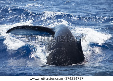 Closeup of a quickly diving whale tail - stock photo
