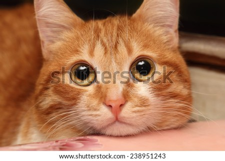 Closeup of a red cat looking at something very attentively - stock photo