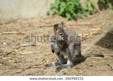 Closeup of a Red-necked Wallaby baby , kangaroo (Macropus rufogriseus) - stock photo