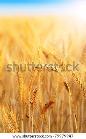 Closeup of a ripe wheat with snail and sunlight - stock photo