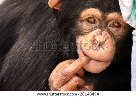 Closeup of a rude Chimpanzee giving a gesture. - stock photo