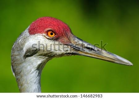 closeup of a Sandhill Crane - stock photo