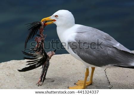 Closeup of a Seagull Holding a Dead Bird in its Beak - stock photo